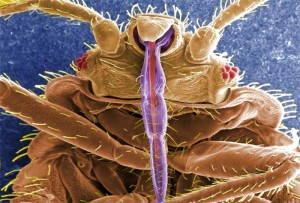 Thumbnail image for What are Bedbugs?