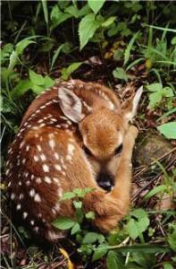 Injured Deer